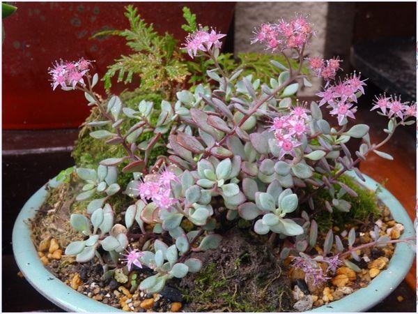 日高ミセバヤの花を撮り...環境が盆栽風になりました