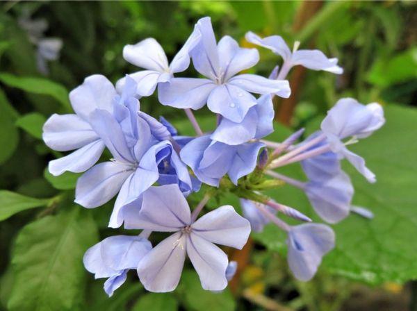 🌻初夏から晩秋まで長期間にわたって次々と開花して、唯一涼しげなルリマツリ(別名)ア