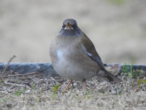 """""""シロハラ""""  冬鳥。公園にて今朝。お腹の  白さがわかるように見上げる  姿勢で"""