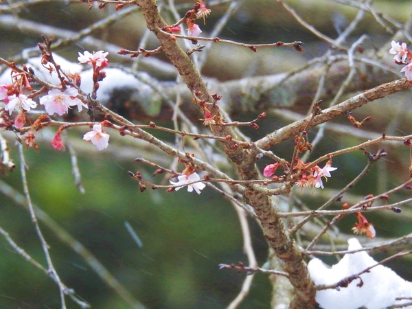 """""""桜の花""""が雪の降る中静かに  咲いていました。枝にも少し  雪が積もっていまし"""