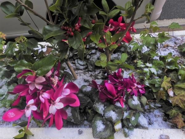 2月6日福岡市街角。  積雪で自然の雪と  お花が出現。