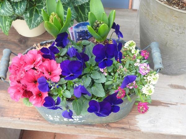 """園芸店で見かけた  """"寄せ植え""""青色が  鮮やかです。"""