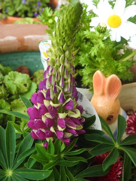 """""""ルピナス""""  待望のお花を大鉢に  飾ってみました。"""