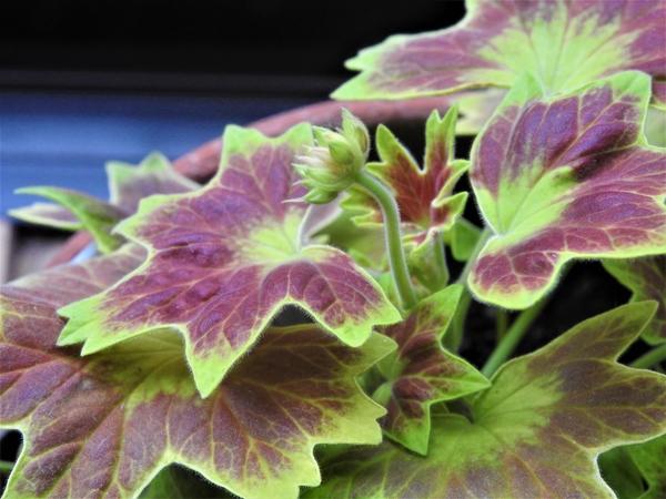 """""""モミジバゼラニュウム""""  花芽のようなものがでて  きました。2月3日。"""