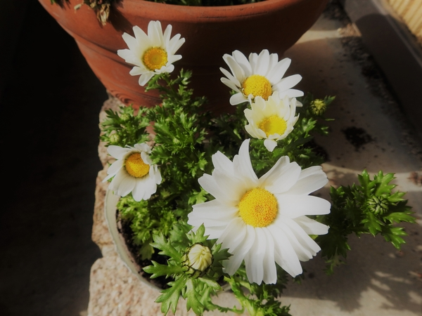 """""""クリサンセマム""""  菊科の白さが鮮やかです。  寒さには強い方ですが、強  い霜には"""