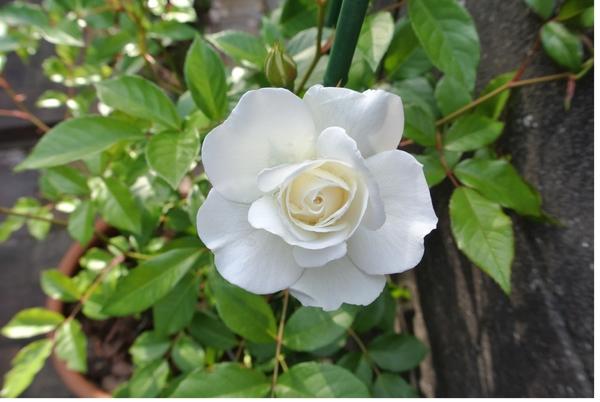 昨年7月4日投稿開始前の「我が家のバラ達」を投稿します。 つるアイスバーク 2017.5.7