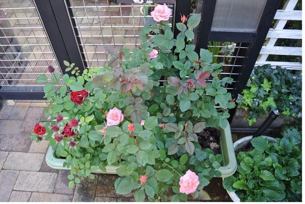 Minバラ ピンク色小夜曲と赤色名不詳の寄せ植え