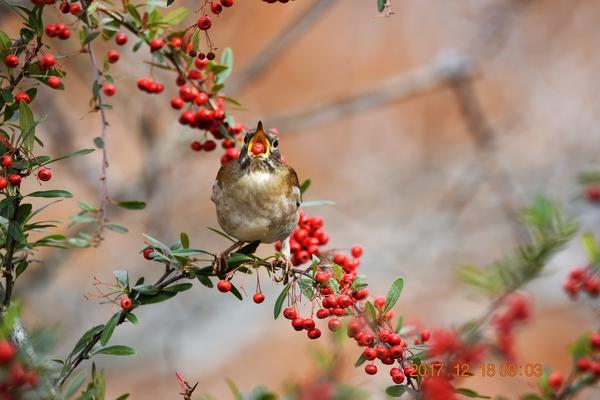 ピラカンサの写真 by shonan 【訂正】  申し訳ありません。  前の写真とこの写真の鳥