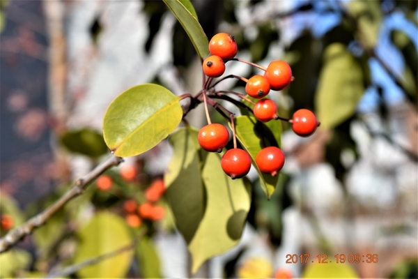 ソヨゴの写真 by shonan モチノキ科常緑樹『ソヨゴの実』 雌雄異株で実のなるのはメス