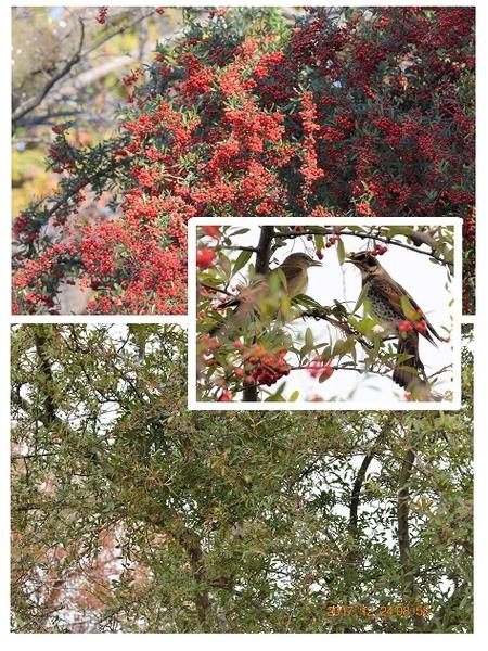 ピラカンサの写真 by shonan ピラカンサの実を鳥たちが食べる前と、 食べ終わった12/2