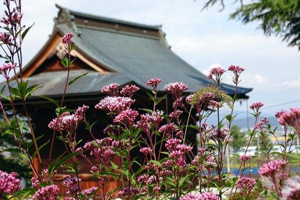 サワフジバカマ 沢藤袴(キク科フジバカマ属) 撮影地:長野県小布施町・岩松院境内に