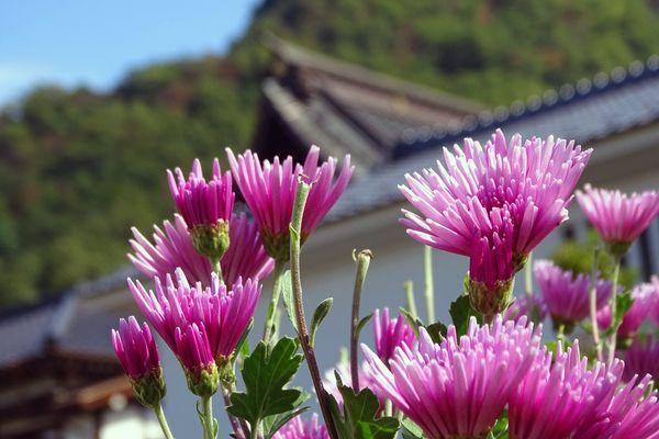 ショクヨウギク(モッテノホカ) 食用菊(もってのほか)(キク科キク属) 撮影地:長