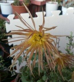 連日の厳寒の中、室内で元気に開花中のオレンジの「嵯峨菊」のアップです((´∀`))