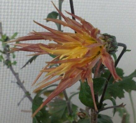 連日の厳寒の中、室内で元気に開花中のオレンジの「嵯峨菊」の大アップです((´∀`))