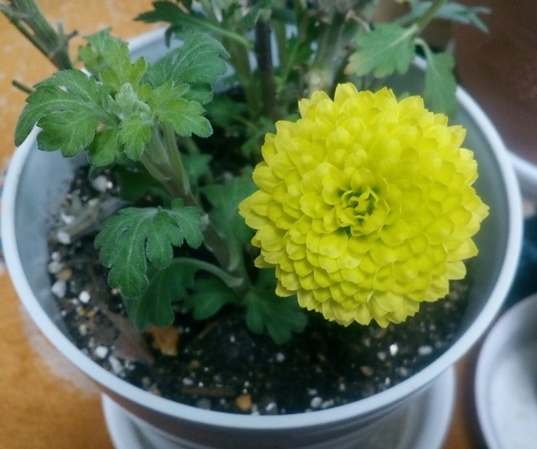 室内で元気に開花中のイエローの「ポットマム'ティエラシリーズ❜」のアップです🙌