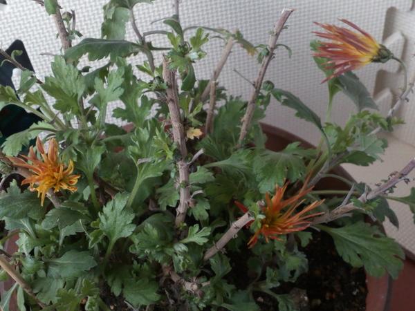 連日の厳寒の中、オレンジの「嵯峨菊」が室内で元気に開花中です((´∀`))