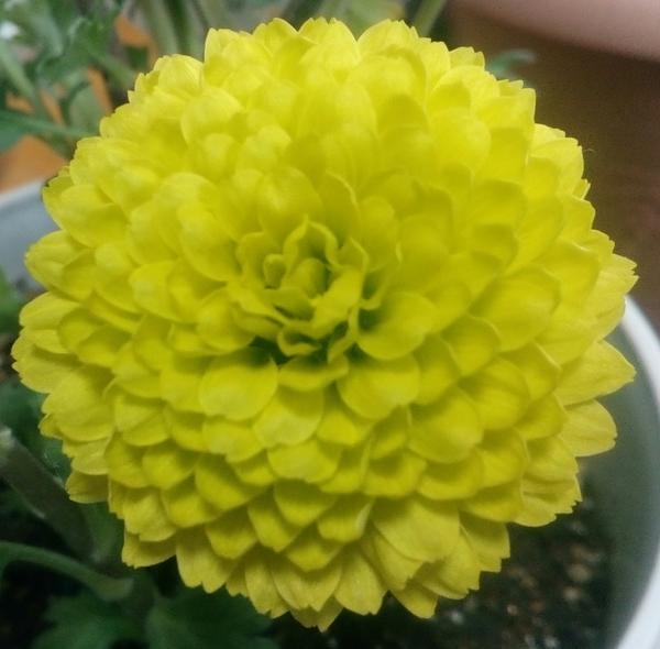 室内で元気に開花中のイエローの「ポットマム'ティエラシリーズ❜」の大アップです🙌