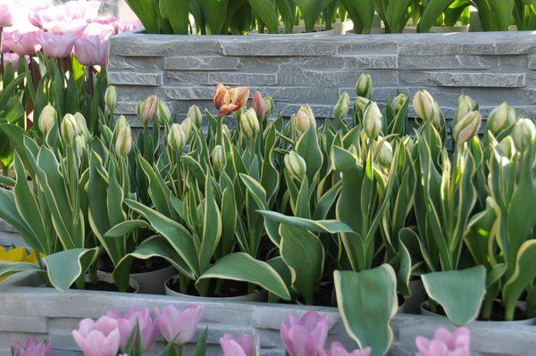 まだ咲いて無いけど、斑入り葉っぱが見せますね!また蕾の緑のラインがアクセントで良