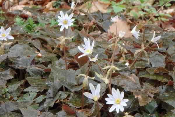 雨の日の中、ユキワリイチゲが咲いてました~。雨の日でもしかっり咲いて満開です。こ
