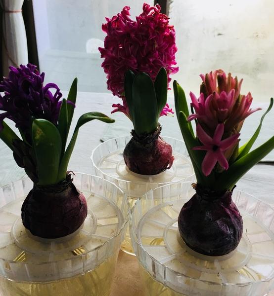 紫のヒヤシンスも咲いてきました