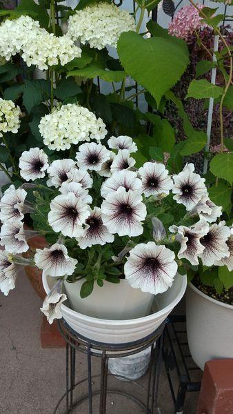 ペチュニアカプチーノ 切り戻ししたので沢山💮花が付きました