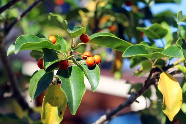 ソヨゴの写真 by Kite.com ソヨゴ 冬青(モチノキ科モチノキ属の常緑小高木) 撮影地
