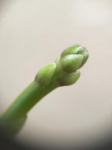 コチョウラン(胡蝶蘭)の写真 by くるみママ ミニ胡蝶蘭 ドリテノプシス パープルジ