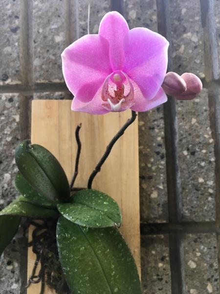 コチョウラン(胡蝶蘭)の写真 by いも子 胡蝶蘭  真夏に出来た蕾ですが 無事、開花で