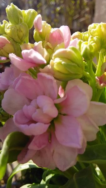 ストック🌼‥淡いピンクのお花と クリーム色の蕾が とても春らしいですね~(*^^*)💗