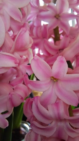 ヒヤシンス💠‥ピンクの球根を4つ集めて見ました♪ 春一杯です~💗 香りも 春が 一杯です
