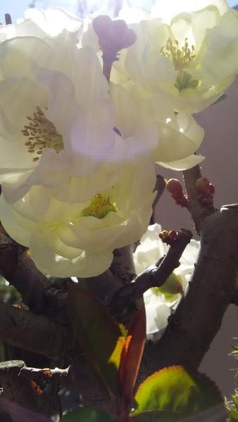 木瓜・白寿‥皆さんのお陰様で 綺麗な八重咲きのお花が 咲きました♪ 前回のTV趣味園で