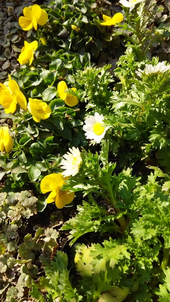 ビオラの小道‥黄色の太陽みたいなビオラは 元気が出ます♪ 可愛い小道が 出来たら 嬉し
