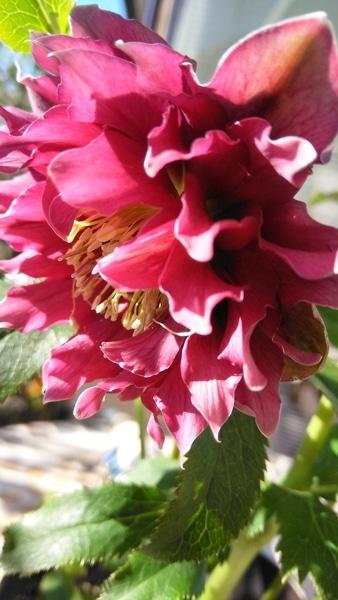 クレオパトラ✨…この花びらの華やかさには もう🎶 メロメロです~😌💓♥️❤️
