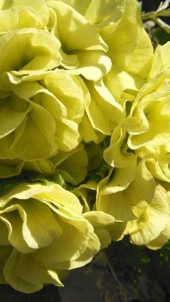 マスカットのジュレ✨…プレミアムバラ咲きジュリアン。このフリフリ とっても 華やかで