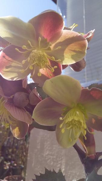 ステルニー🌼‥ お花の咲いている株を 買って来ました♪ お花は とてもしっかりとして た