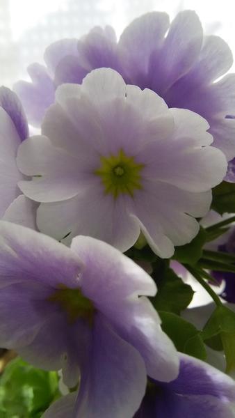 プリムラ・オブコニカ💠‥この淡いパープルは 心がとても やすらぎます♪ 春が こんなに
