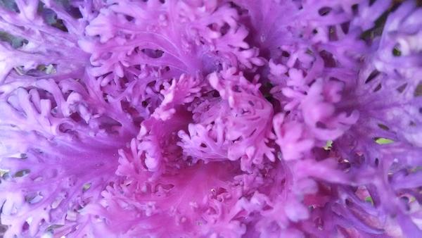 葉牡丹💠‥葉の切れ込みが とても綺麗です♪名前が あると思いますが、わかりません💦 綺