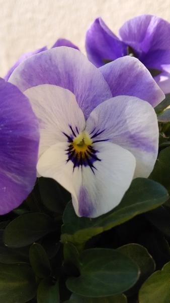 ビオラ💠‥私の好きな色のビオラです♪ 毎朝、凍りながらも  春を待ちわびて 逞しく咲い