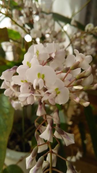ハーデンベルギア‥とても小さな お花がたくさん集まって、咲いています 愛嬌があって