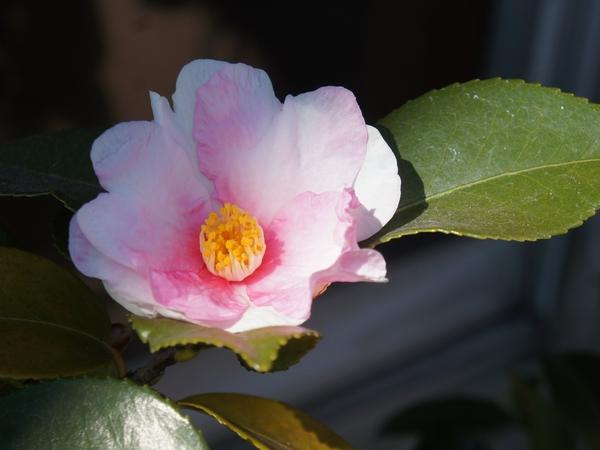 2/4 寒椿 雪中の花 花によりピンクの入り具合がかなり違うので楽しみが多いです。