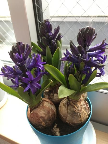 2018年2月22日  ヒヤシンス、ちょっと咲いてきました❤️ 。 お昼間は、お日様サンサン