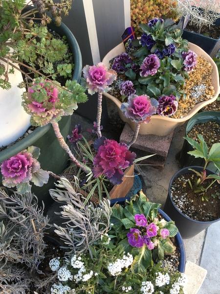 2018年2月7日  ポストの下のお花コーナー。 紫グループです (#^.^#)、、美しいって、