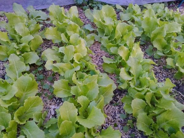 2018 2月 5日 11月に種まきしたみやこべか菜です。 やっとここまで成長しました。