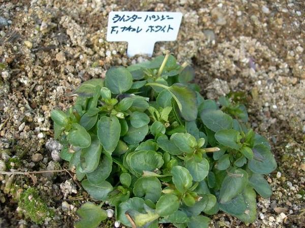 ウインターパンジー ホワイト 植え付け時に弱っていたため、この子まだ一度も咲かない