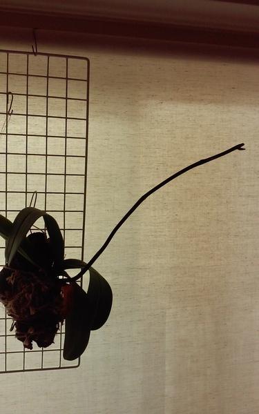 コチョウラン(胡蝶蘭)の写真 by ラムパパ