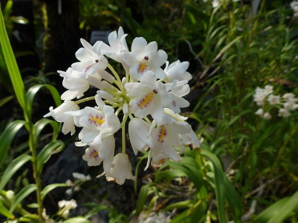 ネオベンタミア・グラキリス(ラン科) 小さな白い花の中のピンクと黄色で虫を誘って