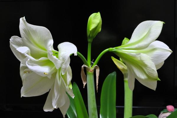 (2018.02.01)撮影。 二つ目の花が咲きました。(^_^)v