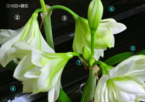 (2018.02.08)撮影。 アマリリス・マリリン。 A茎②③開花…B茎④⑤開花…⑥大きい蕾、⑦小さい