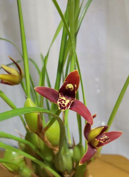 マキシラリア*カルティペス  濃茶色の秋色だけど4㎝位のお花だから 気にならないです
