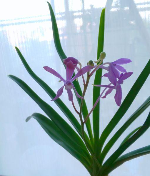 ダーウィンアラ チャーム* 'ブルースター'  風蘭系交配種です💙  爽やかな優しい香り